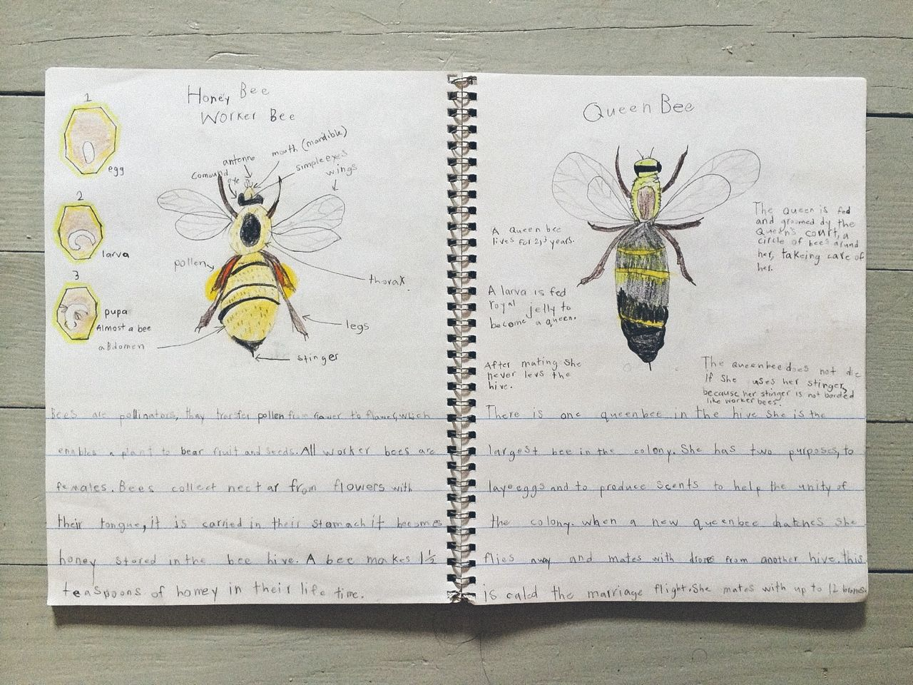 Worker Bee & Queen Bee