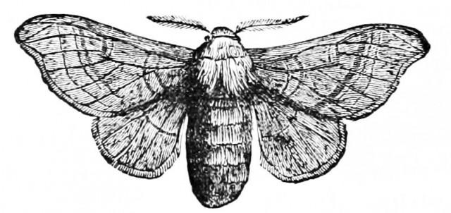PSM_V03_D682_Silk_worm_moth